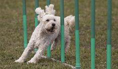Slalom is one of the best tricks to teach your dog agility, speed and listening skills.