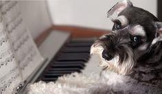 teach your dog to play piano